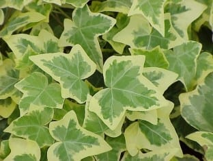 Ivy Hedera Gold Child