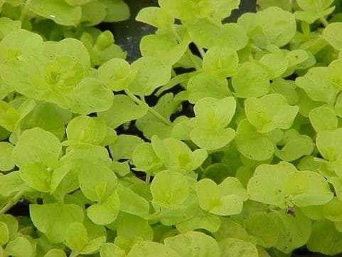 Lysimachia Nummularia Goldi (Aurea)