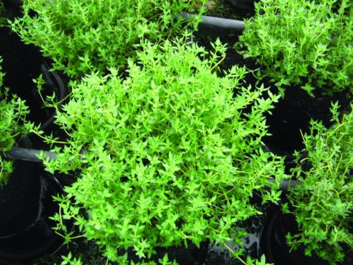 Thymus vulgaris (French Thyme)