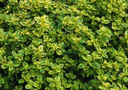 Thymus Variegated (Lemon Variegated Thyme)