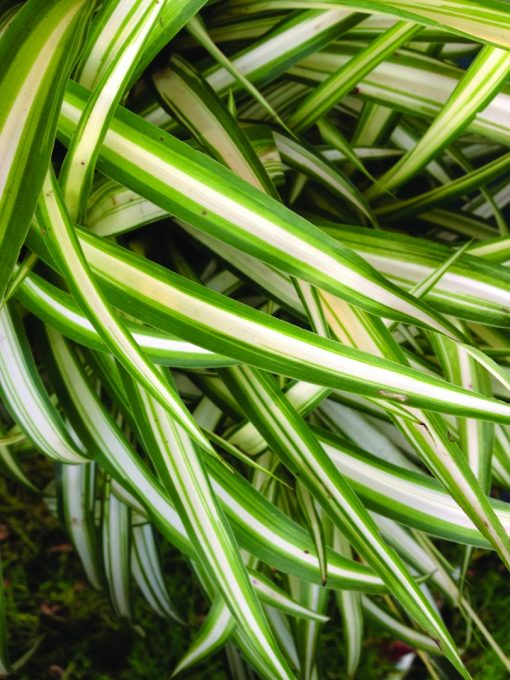 Chlorophytum Variegata Green Edge