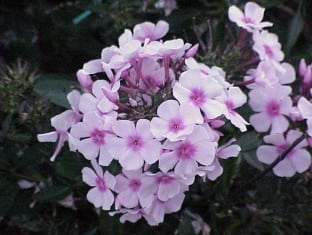 Phlox pan. Bright Eyes