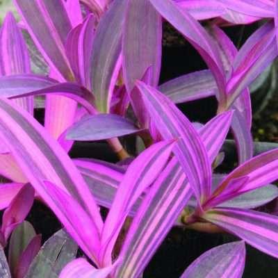 Setcreasea Purple Variegata
