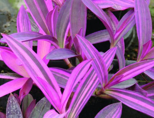 Setcreasea Purple Variegata