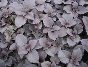 Coleus Dark Star