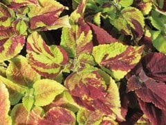 Coleus Painted Lady