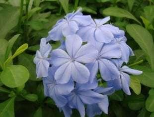 Plumbago Imperial Blue