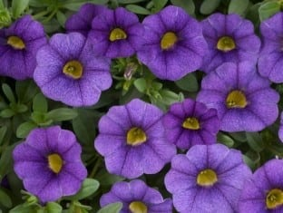 Calibrachoa Noa  Blue Legend