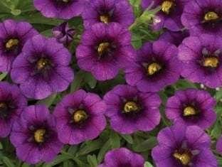 Calibrachoa Noa  Ultra Purple