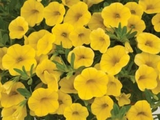 Calibrachoa Noa  Yellow