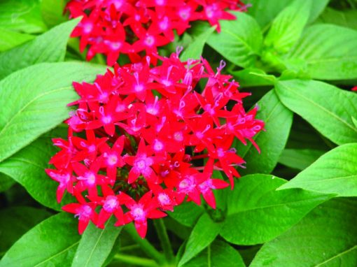 Pentas Compact Red