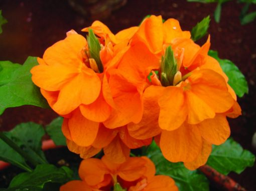 Crossandra Orange