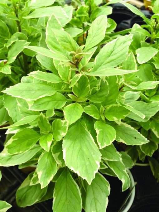 Basil (Ocimum) Pesto Perpetuo (PP16260)