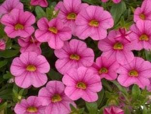 Calibrachoa Noa  Mega Pink