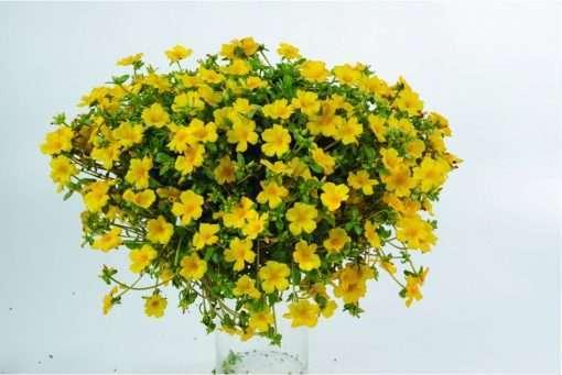 Portulaca Pazazz Vivid Yellow