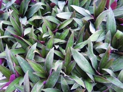 Rhoeo spathacea Verde
