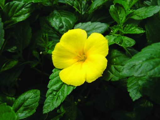 Turnera Yellow