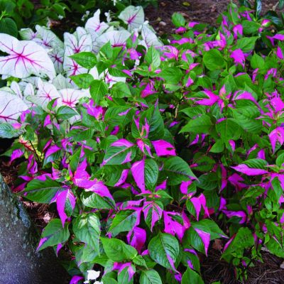 Alternanthera Party Time (PP14789)