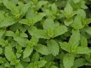 Mentha (Mint) Mojito
