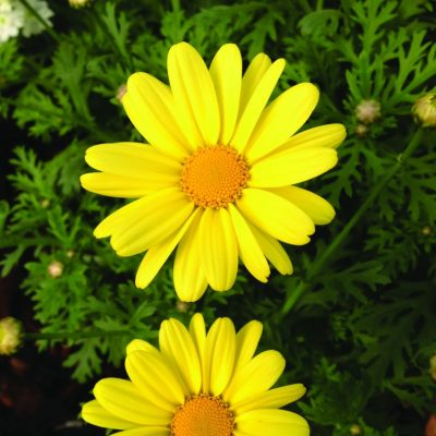 Argyranthemum frutescens Beauty Yellow