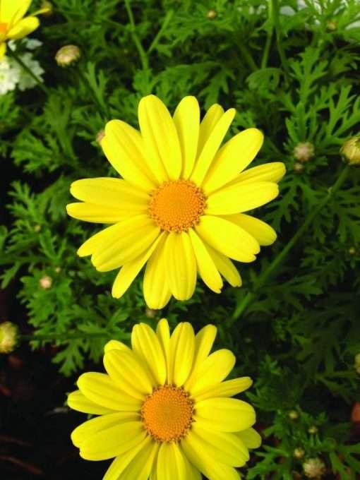 Argyranthemum frutescens Beauty Yellow