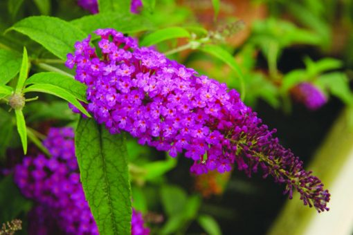 Buddleja davidii Buzz Purple