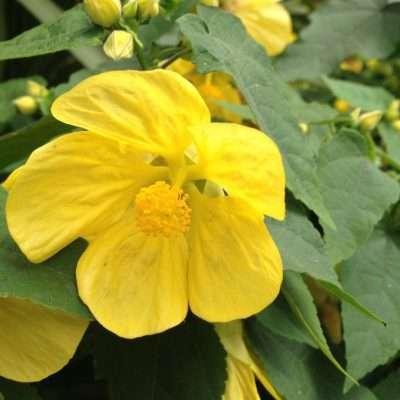 Abutilon hybrida Lucky Lantern Yellow PPAF