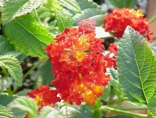 Lantana Red Spread (PP14691)