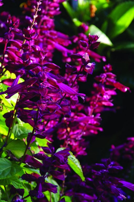 Salvia splendens Saucy Wine