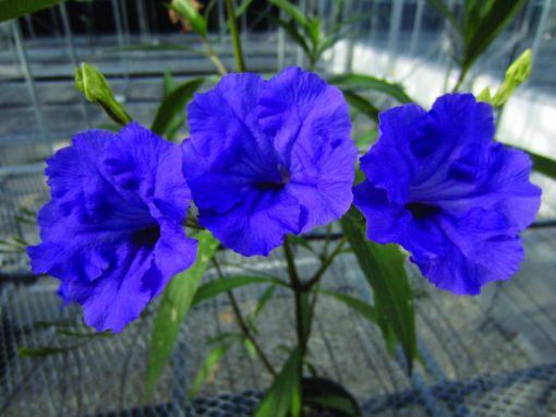 Ruellia hybrid Mayan Purple