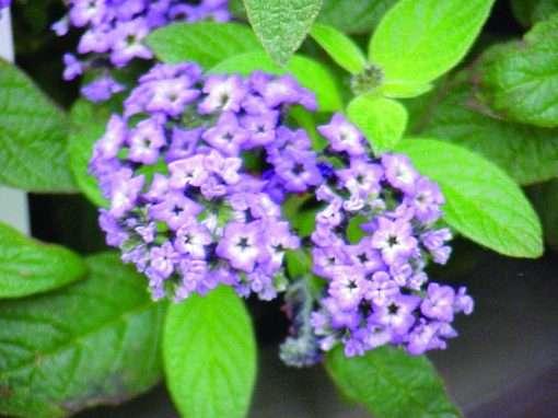 Heliotropium arborescens Fragrant Delight