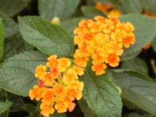 Lantana Bright Orange PPAF