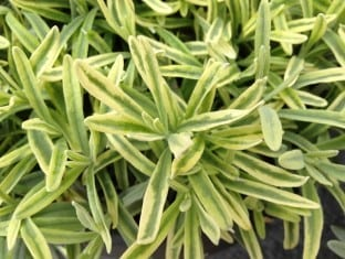 Lavandula angustifolia Platinum Blonde