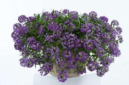 Lobularia Lavender Stream