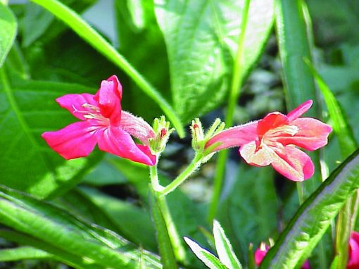 Ruellia elegans Brazilian Red
