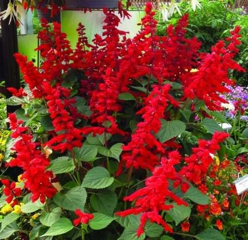 Salvia splendens Saucy Red