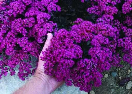 Sedum SunSparkler Dazzleberry (PPAF)