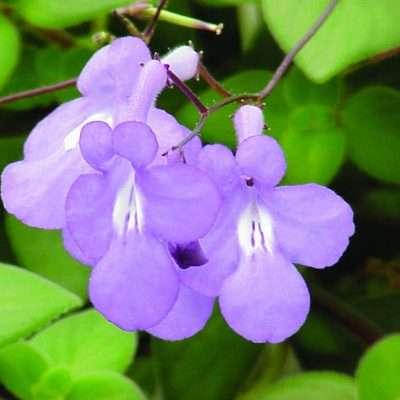Streptocarpella Concord Blue