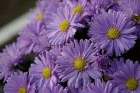 Aster dumosus Kickin' Lavender