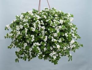 Bacopa Scopia Gulliver Basket White