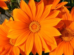 Gazania rigens Giant Deep Orange