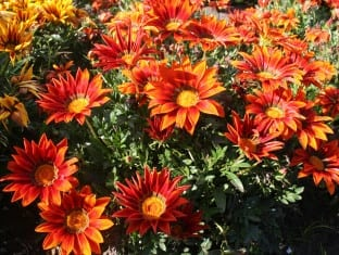 Gazania rigens Giant Red Bronze