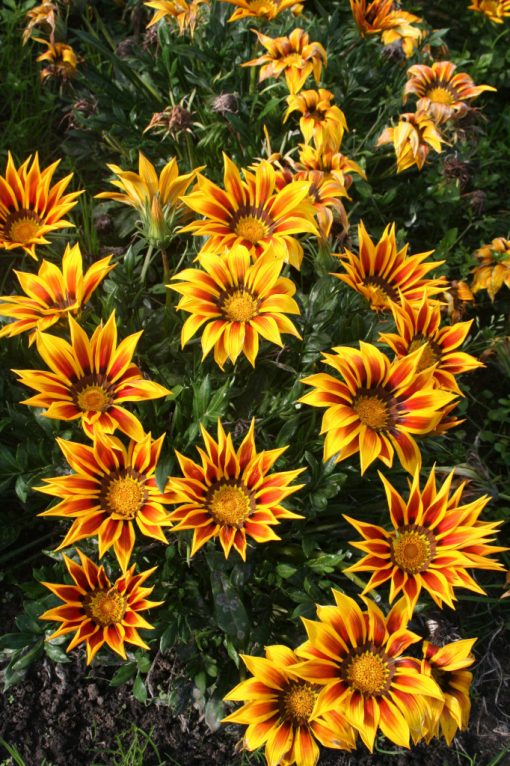 Gazania rigens Giant Yellow Red Striped