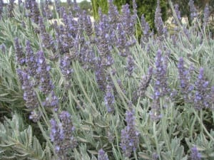 Lavandula hybrid Big Boy James PPAF