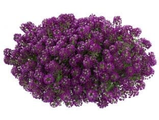 Lobularia Purple Stream