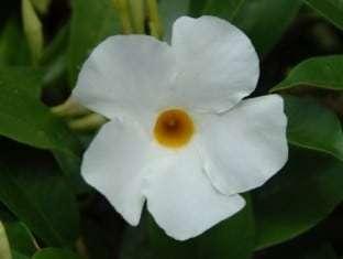 Mandevilla Bella White