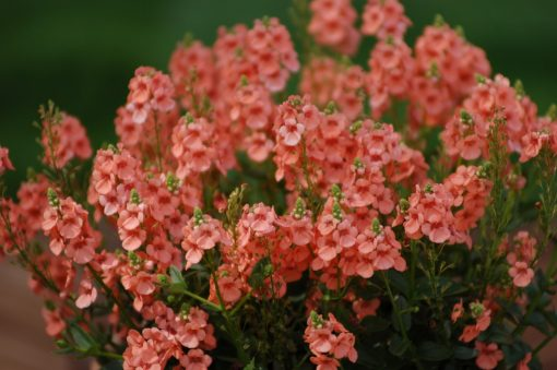 Diascia Sundiascia  Upright Peach