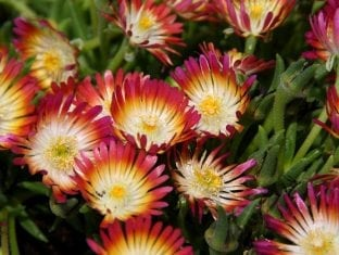 Delosperma cooperi Jewel of Desert Ruby PP23453
