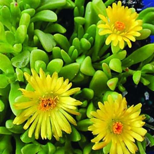 Delosperma nubigenum Yellow