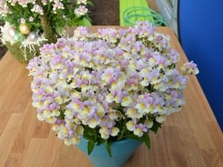 Nemesia fruticans French Connection Easter Bonnet (PP27218)